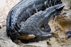 Otočený fragment lebky tyranosaurida, který může představovat jediný pádný důkaz o existenci druhu Nanotyrannus lancensis. Bude ale v budoucnu řádně vědecky prozkoumán a zůstane k dispozici pro další výzkumy? Kredit: Raphael Rosen