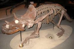 Jedním z dinosaurů, které popsal sám autor statistiky z roku 1990 Peter Dodson, je i vývojově primitivní ceratopsinní ceratopsid Avaceratops lammersi, formálně popsaný v roce 1986. I tento menší rohatý dinosaurus z Montany, žijící v době před 77 miliony let, byl tedy zahrnut do původní statistiky. Na snímku odlitek kostry ve filadelfské Akademii přírodních věd. Kredit: Daderot, Wikipedie (volné dílo)