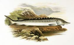 První prokazatelnou obětí následků dopadu planetky Chicxulub byly nebohé jeseterovité ryby, které obývaly oblasti dnešní Severní Dakoty zhruba ve vzdálenosti 3000 kilometrů od místa dopadu. Smrt je tak zastihla do několika desítek minut od impaktu. Na obrázku vzdálený příbuzný těchto svědků zkázy z terminální křídy, recentní druh jeseter velký (Acipenser sturio). Kredit: A. F. Lydon, Wikipedie (volné dílo).