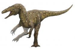 Donedávna byl největším teropodním dinosaurem známým z Austrálie megaraptor druhuAustralovenator wintonensis, žijící před zhruba 95 miliony let na území dnešního středo-západního Queenslandu. Oproti obřím teropodům z jiných kontinentů byla ale pouhým střízlíkem – při délce kolem 6 metrů dosahoval hmotnosti v rozmezí 500 až 1000 kilogramů.Kredit:PaleoEquii; Wikipedie (CC BY-SA 4.0)