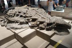 Fantasticky dochovaná fosilie nodosaurida druhu Borealopelta markmitchelli v expozici Royal Tyrrell Museum of Paleontology v kanadské Albertě. Textura hřbetního pancíře i další anatomické podrobnosti na fosilii udivují paleontology i laickou veřejnost již devět let. Kredit: Etemenanki3; Wikipedie (CC BY-SA 4.0)