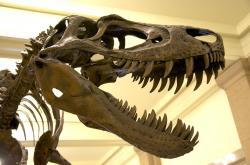 """Detailní fotografie lebky jedince """"Jane"""", juvenilního exempláře druhu Tyrannosaurus rex, který zahynul ve svých 11 letech. V tomto věku měřil na délku asi 6,5 metru a vážil téměř tunu. Podle některých paleontologů se mohlo jednat o samostatný rod a druh Nanotyrannus lancensis, většinový názor však existenci tohoto domnělého tyranosaurida neuznává. Kredit: ScottRobertAnselmo; Wikipedie (CC BY-SA 3.0)"""