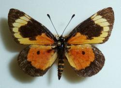 Broučkaři se postarali o matení jazyků když poněkud neuváženě, dali stejné jméno motýlům. Pro lepidopterology (zvláštní sorta entomologů) jsou Cooksonia motýli. Na obrázku je Cooksonia neavei ze Zimbabwe. O vzniku motýlů se lze dočíst například zde. Kredit obrázku: JMK, Wikipedie