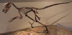 Kostra deinonycha působí kompaktně, ale také velmi lehce. Není náhodou, že právě výrazná podobnost mnoha prvků skeletu křídového dinosaura a dnešních ptáků přiměla Johna H. Ostroma k vážným úvahám na téma blízké příbuznosti dnešních ptáků a neptačích druhohorních dinosaurů. Zde snímek exponátu z Fieldova přírodovědného muzea v Chicagu. Kredit: Jonathan Chen; Wikipedie (CC BY-SA 4.0)