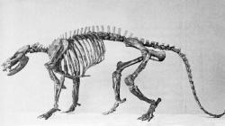 Rekonstruovaná kostra pravěkého savce druhu Ectoconus ditrigonus z vyhynulého řádu Condylarthra. Tento asi 50 kilogramů vážící savec žil již v době před 65,3 milionu let, tedy pouhých 700 tisíciletí po dopadu planetky Chicxulub do oblasti dnešního Mexického zálivu (tehdejšího Proto-Karibiku). Kredit: Flickr; Wikipedie (No restrictions)