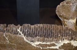"""Dolní čelist edmontosaura s dobře patrnými """"bateriemi"""" zubů. Tento dentální aparát kachnozobých dinosaurů byl dokonalým nástrojem pro mechanické zpracování tuhé rostlinné vegetace. Kredit: Tim Evanson, Wikipedie"""