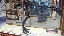 Rekonstruovaná kostra holotypu eustreptospondyla (OUM J13558) v expozici Oxfordského univerzitního přírodovědeckého muzea. Tento exemplář byl subadultním (nedospělým) jedincem, dosahujícím délky kolem 4,6 metru a živé hmotnosti jen asi 220 kilogramů. Dospělé exempláře byly podstatně větší, ačkoliv jejich konkrétní rozměry nejsou známé. Kredit: Ballista; Wikipedie (CC BY-SA 3.0)