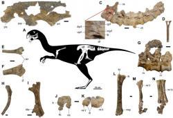 Kosterní diagram a dochované fosilní části kostry letos popsaného oviraptoridního teropoda druhu Gobiraptor minutus. Tento malý opeřený oviraptorosaur žil v období pozdní křídy (asi před 70 miliony let) na území dnešního Mongolska. Patří k záplavě nových dinosauřích druhů, které byly světu představeny v posledních dvou dekádách. Kredit: Lee et al. (2019); Wikipedie (CC BY-SA 4.0)