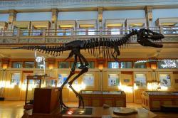 """Štíhlá stavba těla umožnila tyranosauridovi druhu Gorgosaurus libratus nejen efektivní chůzi, ale nejspíš i celkově vysokou rychlost běhu. Pro nedospělého subadultního jedince tohoto druhu (vážícího 520 kg) byla v roce 2016 Molinou-Pérezem a Larramendim odhadnuta fantastická rychlost až 58,6 km/h. Dospělec o hmotnosti 2900 kg se pak musel """"spokojit"""" s rychlostí 42,2 km/h, což stále odpovídá trénovaným lidským sprinterům. Kredit: Daderot; Wikipedie (CC0)"""