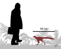 Silueta malého troodontidního teropoda druhu Hesperornithoides miessleri, objeveného v pozdně jurských sedimentech souvrství Morrison na území Wyomingu. Tento malý opeřený dravec dosahoval délky kolem 1 metru a pravděpodobně nevážil víc než kočka nebo malý pes. Jeho fosilie byla objevena v těsné blízkosti zkamenělé kostry obřího diplodokidního sauropoda druhu Supersaurus vivianae, dosahujícího délky až kolem 35 metrů. Kredit: PaleoNeolitic; Wikipedie (CC BY-SA 4.0)