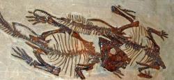 Dva fosilní exempláře leptoceratopse v expozici Kanadského muzea přírody (Canadian Museum of Nature) v Ottawě. Podle některých paleontologů mohli být tito primitivní rohatí dinosauři adaptováni na obojživelný způsob života, pro toto tvrzení ale zatím chybí jakékoliv pevné důkazy. Kredit: Hectonichus; Wikipedie (CC BY-SA 3.0)