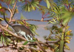 """Rekonstrukce ekologické scény, ve které Eomaia scansoria loví strašilku druhu Cretophasmomima melanogramma. Tento pravěký savec o rozměrech středně velkého hlodavce představuje jednoho z nejprimitivnějších příbuzných kladu Eutheria. V době před 125 miliony let byl současníkem mnoha """"opeřených dinosaurů"""" v rámci ekosystémů souvrství Yixian na území dnešní čínské provincie Liao-ning. Kredit: S. Fernandez; Wang M. et al. (2014); Wikipedie (CC BY 2.5)"""