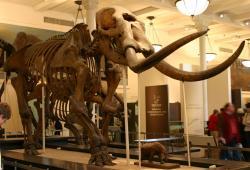 """Exemplář druhu Mammut americanum, známý jako """"Warren mastodon"""". Tento poměrně velký a robustní exemplář zdobí expozici Amerického přírodovědeckého muzea v New Yorku (AMNH). Kredit: Ryan Somma, Wikipedie (CC BY-SA 2.0)"""