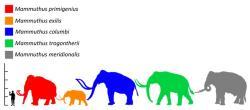 Mamut srstnatý (červená silueta) byl v rozporu s obecným názorem relativně malým druhem mamuta a chobotnatce obecně. Dospělí samci pravděpodobně nebyli větší než samci dnešních slonů afrických. Největší exempláře snad mohly dorůstat do hmotnosti 8000 kg, obvykle však byli zástupci tohoto druhu podstatně menší. Kredit: Wikipedie (volné dílo)