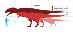 Velikost několika známých zástupců druhu Mapusaurus roseae v porovnání s člověkem. Velcí jedinci tohoto smečkového lovce mohli dosahovat délky přes 12 metrů a jejich lebka byla dlouhá přes 1,5 metru. Tito teropodi byli současníky obřího sauropoda argentinosaura. Kredit: Slate Weasel, Wikipedie (volné dílo)