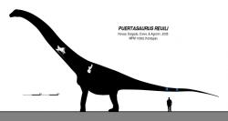 Rekonstrukce přibližného tvaru těla a velikosti puertasaura, vytvořená na základě velmi skromných fosilních pozůstatků. I ty nejkonzervativnější odhady délky tohoto sauropoda se pohybují blízko hodnotě 30 metrů a je prakticky jisté, že vážil přinejmenším tolik, co deset dospělých samců slona afrického. Kredit: Slate Weasel, Wikipedie (CC0)