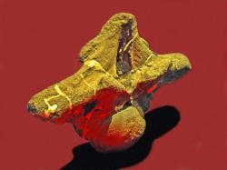 Kolosální hrudní obratel puertasaura. Jeho výška činí 106 centimetrů a šířka dosahuje fantastických 168 centimetrů. Tato kost musela být součástí masivní páteře obřího sauropoda, vážícího nejspíš přes 50 tun. Bohužel jsou však fosilní pozůstatky tohoto titanosaura velmi skromné a neumožňují učinit si přesnější představu o jeho rozměrech ani tvaru jeho těla. Kredit: Hectonichus, Wikipedie (CC BY-SA 4.0)