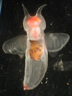 Chladné mořské vody skrývají mnohá překvapení. Neoplývají jen mořskými motýly, poletují tam i andílci - celým jménem Clione limacina. A nejspíš už ani nepřekvapí, že to jsou také plži. Náleží ke skupině Gastropoda. Na rozdíl od  skutečných andělů, tihle jsou predátoři a hermafrodité. Zpočátku jsou samci a později se změní v samice. Naše motýlky by slupli jako nic, jsou totiž desetkrát větší. (Kredit: Matt Wilson/Jay Clark, NOAA Photo Library, volné dílo)