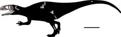 Skeletární diagram nového karcharodontosaurida druhu Siamraptor suwati – znázorněny jsou dochované fosilní části skeletu. I na základě takto nepočetných fragmentů bylo možné stanovit, že se jedná o nový rod a druh karcharodontosauridního teropoda. Při délce až 8 metrů představoval nejspíš ve svém ekosystému dominantního predátora. Kredit: Chokchaloemwong et al., 2019; Wikipedie (CC BY 4.0)