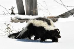 Skunk (Mephitis mephitis), často zvaný skunk smradlavý, je dalším tvorem proužkatého společenství u něhož Tim Caro hodlá přijít na kloub jeho výrazné odlišnosti. (Kredit: Dan & Lin Dzurisin, Wikipedia)