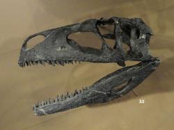 Rekonstrukce lebky druhu Tanycolagreus topwilsoni, většího příbuzného druhu C. fragilis. Společně tvoří tyto dva druhy čeleď Coeluridae, která podle některých paleontologů spadá do nadčeledi Tyrannosauroidea. Kredit: Daderot, Wikipedie (CC0)