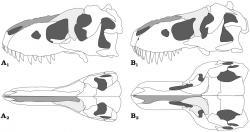 Rozdíly ve stavbě lebky druhu Tarbosaurus bataar (A1 a A2) a Tyrannosaurus rex (B1 a B2) ukazují, že severoamerický druh měl podstatně lépe vyvinuté stereoskopické (binokulární) vidění díky mohutnému rozšíření báze lebky. Zároveň byl schopen ještě silnějšího skusu čelistí než jeho asijský příbuzný. Tarbosauři jsou známí ze sedimentů o stáří asi 71 až 69 milionů let, tyranosauři z vrstev o stáří asi 68 až 66 milionů let. Tarbosaura jako přímého předka druhu T. rex tedy nemůžeme zcela vyloučit. Kredit: J. H. Hurum a K. Sabath, Acta Paleontologica Polonica a Wikipedie (CC BY 2.0)