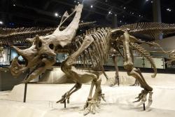 Rekonstruovaná kostra velkého chasmosaurinního ceratopsida druhu Utahceratops gettyi v expozici Muzea přírodní historie v Utahu (Salt Lake City). Tito několikatunoví býložravci žili zřejmě ve stádech a společně se bránili před útoky velkých tyranosauridních predátorů, jako byl druh Teratophoneus curriei. Kredit: J. Lallensack; Wikipedie (CC BY-SA 4.0)