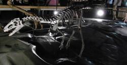 Rekonstruovaná kostra druhu Suskityrannus hazelae, malého tyranosauroida, žijícího před 92 miliony let na území dnešního Nového Mexika. Dvě objevené kostry mláďat patřily jedincům, dlouhým necelé tři metry a vážícím kolem 30 kilogramů. Jeho pozdější příbuzní dorůstali hmotnosti až v řádu tun. Kredit: Kumiko; Wikipedia (CC BY-SA 2.0)