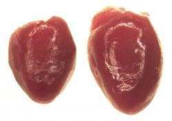 Zvýšení hladiny Ucn2 navodí aktivací Crhr2 a u myši přivodí abnormální zvětšení srdce (vpravo). Je to signál narušené funkce a brzkého srdečního selhání.Kredit:. Tsuda et al, 2017