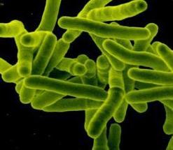 Mycobacterium tuberculosis (Kredit:Niaid)