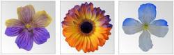 O rozmístění elektrického náboje na okvětních lístech vypovídají změny barev. Vědci je na květech kakostu, gerbery a plaménku pro nás zviditelnili pomocí práškových barevných elektricky nabitých částic. Kredit:Dominic Clarke a Daniel Robert, University of Bristol.