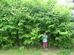 Křídlatka japonská. Někdy překládána jako opletka japonská, je nejznámější druh rodu křídlatka. Je to statná, vytrvalá, rychle se rozrůstající invazní rostlina dosahující výšky okolo 2 metrů. Vytlačuje všechny původní druhy rostlin a je prakticky nevyhubitelná. Nedovolí, aby pod ní cokoliv vyrostlo. A šíří se rychle. Wikipedie