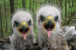 Černobylští orli. Kredit: Valeriy Yurko / University of Portsmouth