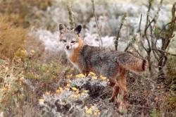 Ohrožených druhů, jako je tato liška z Kalifornie, je hodně.  Překvapivě je jejich společným rysem velký mozek. (Kredit: National Park Service)
