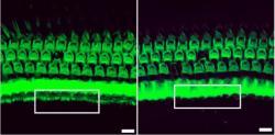 Výsledek práce editoru. Vlevo vláskové buňky myši po zásahu, vpravo tkáň neošetřené myši. Kredit: Gao et al. /Nature 2017.
