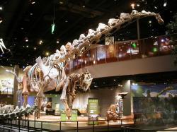Rekonstruované kostry dospělých exemplářů druhu Alamosaurus sanjuanensis a Tyrannosaurus rex. Tito velcí až obří plazopánví dinosauři spolu na konci křídové periody pravděpodobně sváděli urputné souboje na území dnešních amerických států Nové Mexiko, Utah, Texas a pravděpodobně i jinde. Na snímku působivé skelety v expozici Perotova muzea v texaském Dallasu. Kredit: Matthew Wedel (web SVPOW); Wikipedie (CC BY-SA 4.0)