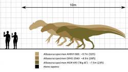 Ačkoliv byl alosaurus velkým teropodem, ani zdaleka se hmotností neblížil o 80 milionů let mladšímu druhu Tyrannosaurus rex. Největší ověřený jedinec alosaura měřil na délku necelých deset metrů a jeho hmotnost je odhadována asi na 2 až 2,5 tuny. Oproti tomu někteří odrostlí jedinci tyranosaura vážili při délce přes 12 metrů více než 8 tun. Kredit: Steveoc 86 Marmelad; Wikipedie (CC BY-SA 2.5)