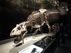 """Tyranosauři byli vrcholoví predátoři, schopní úspěšně zaútočit na většinu živočichů ve svém okolí. Jejich preferovanou kořistí byli patrně až několikatunoví kachnozobí edmontosauři, potažmo nebezpečnější ceratopsidi triceratopsové. To ale neznamená, že by mnohem menší člověk byl před nimi v bezpečí. Ostatně i současní velcí predátoři, schopní skolit například mohutné kopytníky, nepohrdnou občas myší nebo ještěrkou. Na snímku exemplář """"Trix"""". Kredit: Hay Kranen; CC BY 4.0"""