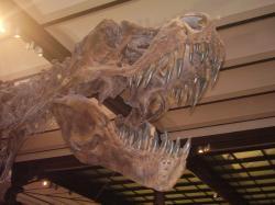 """Replika """"Stana"""", tedy proslulého exempláře druhu Tyrannosaurus rex se sbírkovým označením BHI 3033. Odlitky této kostry byly od 90. let minulého století zakoupeny a vystaveny v množství muzeí po celém světě. Samotná kostra byla nedávno vydražena za astronomickou sumu v přepočtu bezmála čtvrt miliardy českých korun. Snímek lebky z bruselského Muzea přírodních věd, pořízená autorem článku v únoru roku 2009."""