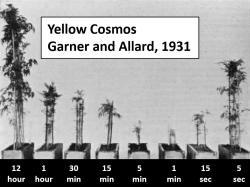 Záznam experimentu z roku 1931, kdy byla sledována reakce krásenky sírožluté pod světelnými intervaly různé délky. Kredit: J. Agri. Res. 42: National Agricultural Library, Agricultural Research Service, U.S. Department of Agriculture., CC BY 4.0