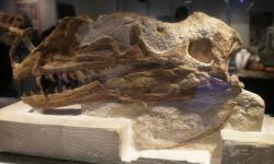 Lebka proceratosaura, objevená roku 1910 u Minchinhamptonu. Jak se ukázalo o století později, tento dinosaurus byl o celých 100 milionů let starším příbuzným slavného tyranosaura.Kredit:Derdadort, Wikipedie (CC BY-SA 3.0)