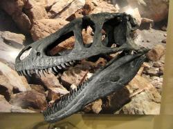 Replika lebky teropoda druhu Marshosaurus bicentesimus, formálně popsaného v roce 1976. Tito středně velcí teropodi z čeledi Piatnitzkysauridae se vyskytovali na území současných amerických států Utah a Colorado v období pozdní jury, asi před 155 až 152 miliony let. Snímek z expozice Přírodovědeckého muzea Utahu v Salt Lake City. Kredit: Daderot; Wikipedia (CC0).