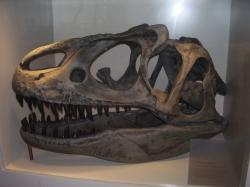"""Lebka druhu Allosaurus fragilis byla relativně lehká, přesto ale poměrně pevná a kompaktní. Podle autorů nové studie byla vhodná spíše k pojídání mršin obřích sauropodů než k aktivnímu lovu. Asi dvoutunoví alosauři by tak v období pozdní jury představovali spíše """"dominantní mrchožrouty"""" než dosud předpokládané vrcholové predátory. Kredit: Vlastní snímek autora, Brusel (únor 2009). Využití pouze s výslovným svolením autora."""