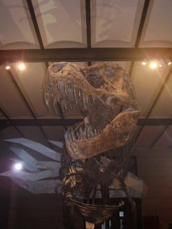 """Pro obřího, extrémně silného a relativně pohyblivého teropoda, jakým byl Tyrannosaurus rex, by byl jed ve slinách patrně již nadbytečný. Vzhledem k účinnosti jeho drtivého stisku utrpěla kořist obvykle smrtelné zranění dřív, než by jed ze slin vůbec začal působit. Zde kosterní exponát populárního jedince zvaného """"Stan"""" v expozici Muzea přírodních věd v Bruselu. Kredit: Vlastní snímek autora, únor 2009."""
