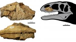 Fragment maxily nově popsaného teropodního dinosaura z kladu Carcharodontosauria, druhu Ulughbegsaurus uzbekistanensis. Stáří sedimentů geologického souvrství Bissekty činí asi 92 až 90 milionů let (věk turon, raná fáze pozdní křídy), tento teropod byl tedy jedním z vůbec nejmladších zástupců celé své vývojové skupiny. Kredit: Tanaka et al., 2021; Wikipedia (CC BY-SA 4.0)