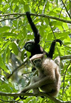 Proč giboni, orangutani, šimpanzi a lidé nemají ocas? Kredit: Vijay Cavale / Wikimedia Commons.