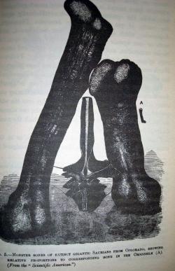 Dobová ilustrace zobrazující dochovaný fragment dorzálního obratle (uprostřed) a údajné stehenní a pažní (?) kosti druhu Maraapunisaurus fragillimus. Malá kost napravo patří krokodýlovi běžných rozměrů. Existují domněnky, že Oramel Lucas skutečně objevil na místě nálezu i gigantickou stehenní kost dlouhou přes tři metry, ta se však zřejmě rozpadla již před vyproštěním z horniny. Kredit: Charles Gould (1884), Wikipedie (volné dílo)