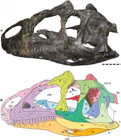 Lebka nově popsaného teropoda druhu Allosaurus jimmadseni. Na rozdíl od svého geologicky mírně mladšího příbuzného druhu Allosaurus fragilis měl tento dravý dinosaurus relativně užší a méně mohutnou lebku. Jeho čelistní stisk byl nejspíš mírně slabší, proto je pravděpodobné, že se soustředil na lov menší a slabší kořisti. Kredit: Daniel J. Chure, Mark A. Loewen; Wikipedie (CC BY 4.0)