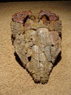 Horní část lebky s výraznou ornamentací, která tomuto pachycefalosaurovi vynesla jeho vědecké rodové jméno. Goyocephale lattimorei byl jedním z několika známých mongolských tlustolebých dinosaurů, žijících v období pozdní křídy na území dnešní pouště Gobi. Kredit: Eduard Solà, Wikipedie (CC BY-SA 3.0)