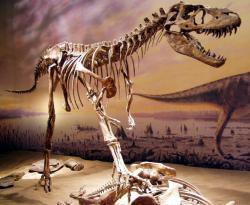 Dnes již poměrně slavný exponát druhu Gorgosaurus libratus v expozici Royal Tyrrell Museum v Drumhelleru (provincie Alberta, Kanada). Gorgosauři jsou z hlediska své kosterní anatomie velmi podobní příbuzným albertosaurům a bývají s nimi proto často zaměňováni. Kredit: Sebastian Bergmann, Wikipedie (CC BY-SA 2.0)